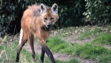 Serigala Maned Dikloning di Brazil